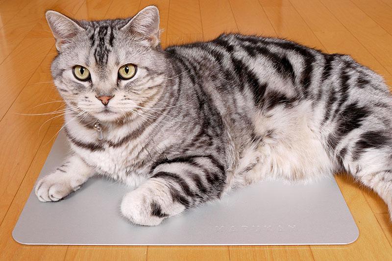 猫の下に見えるものが猫用アルミプレート。一度その涼しさを知ると、夏場などは好んでこのプレートの上で昼寝するようになります。