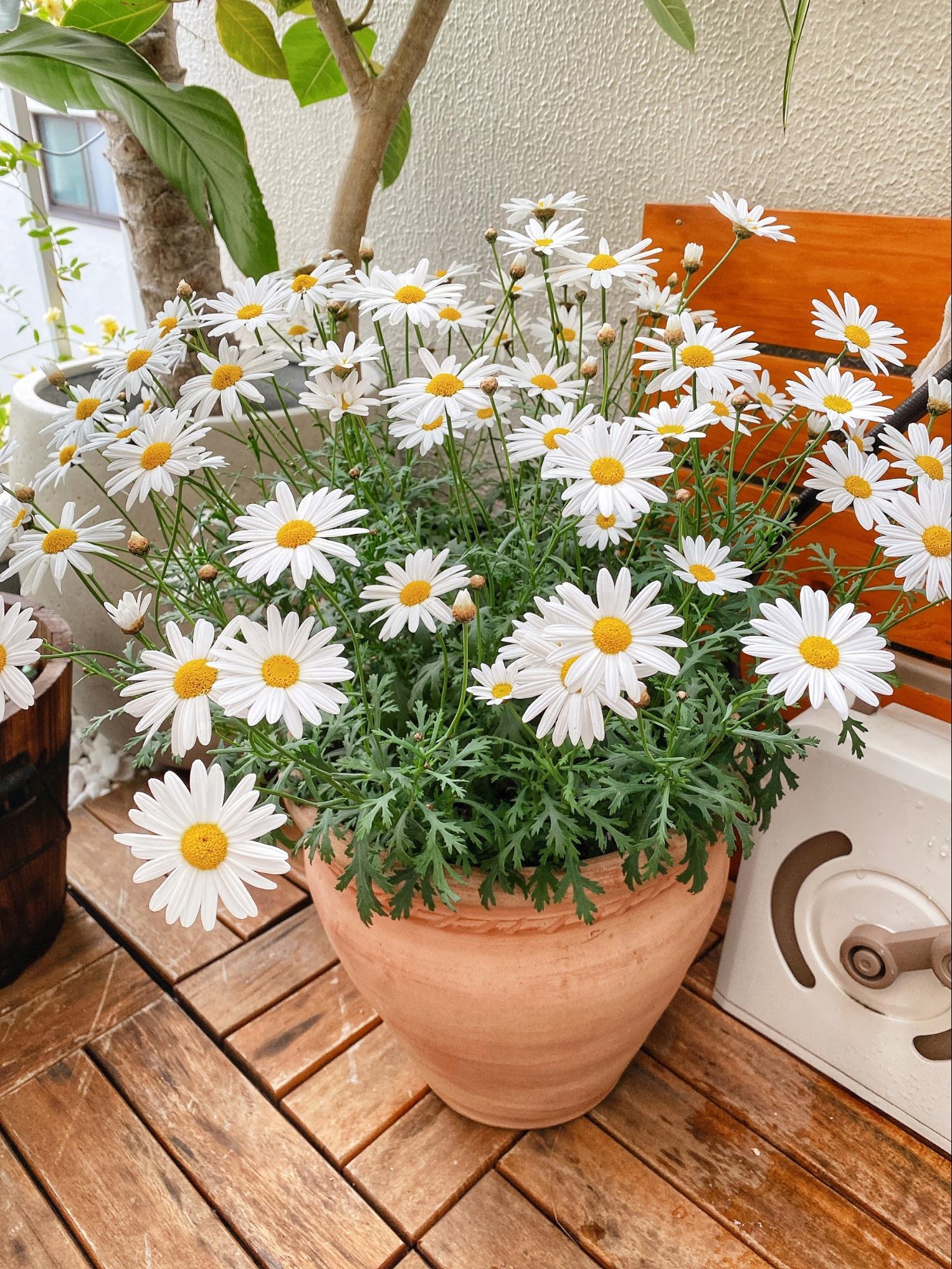 春と秋に可憐な花をたくさんつけるマーガレット