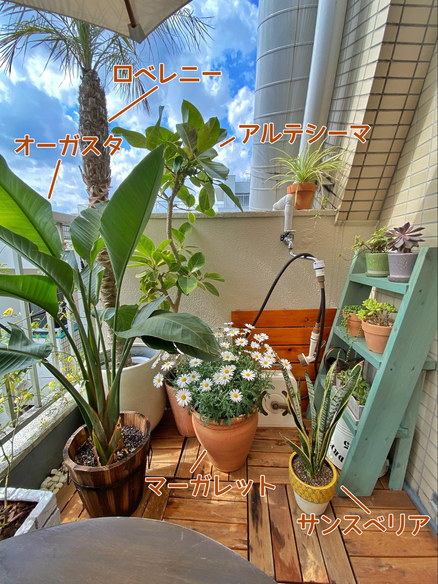 2mほどの大きいロベレニー、目線くらいの高さのアルテシーマとオーガスタ、その下に小さめサイズのサンスベリアやマーガレットの鉢植えを配置。さらに小さい種類は右側の棚の上にまとめて。