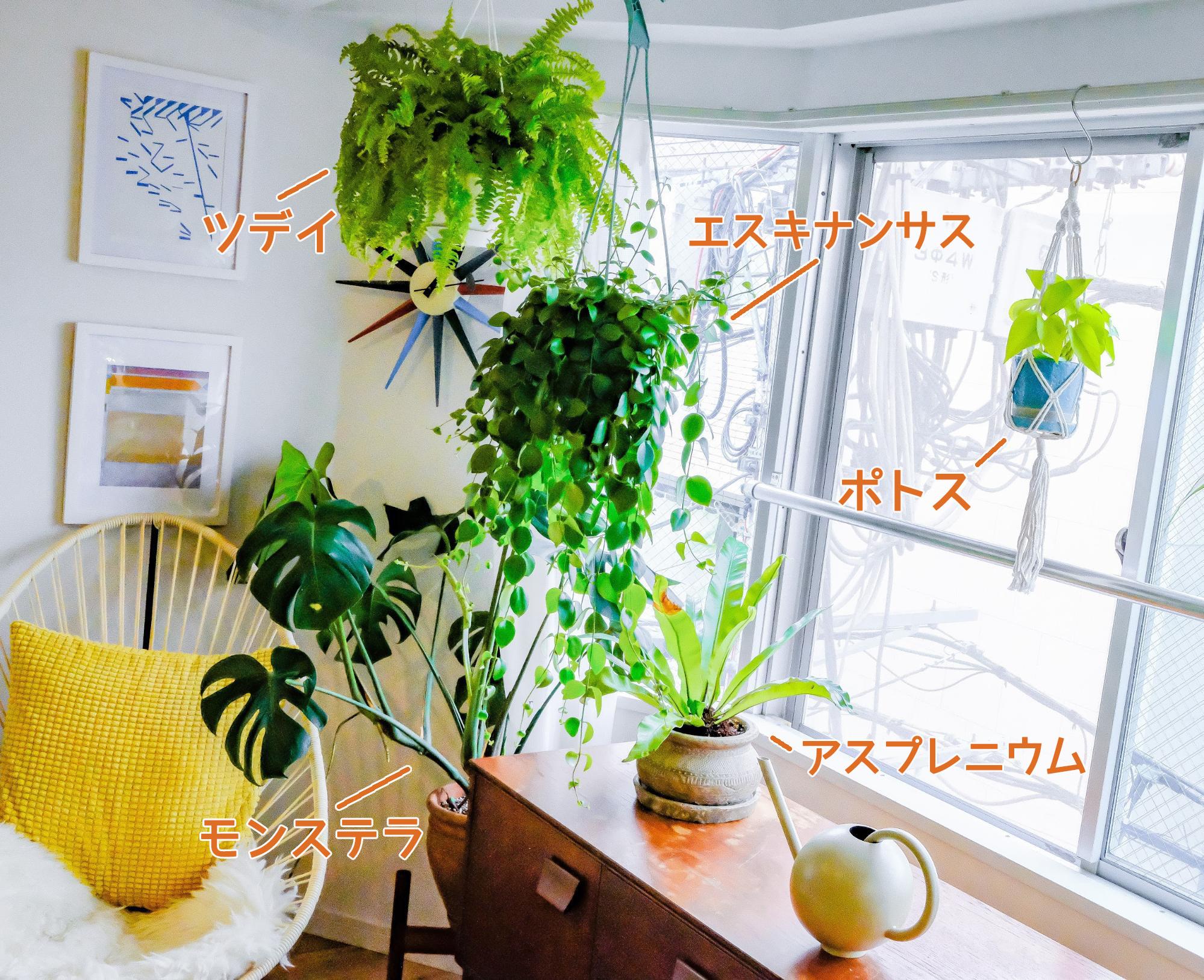 東向きのリビングは日当たりがそこまでよくはないので、耐陰性のある植物たちを置いています