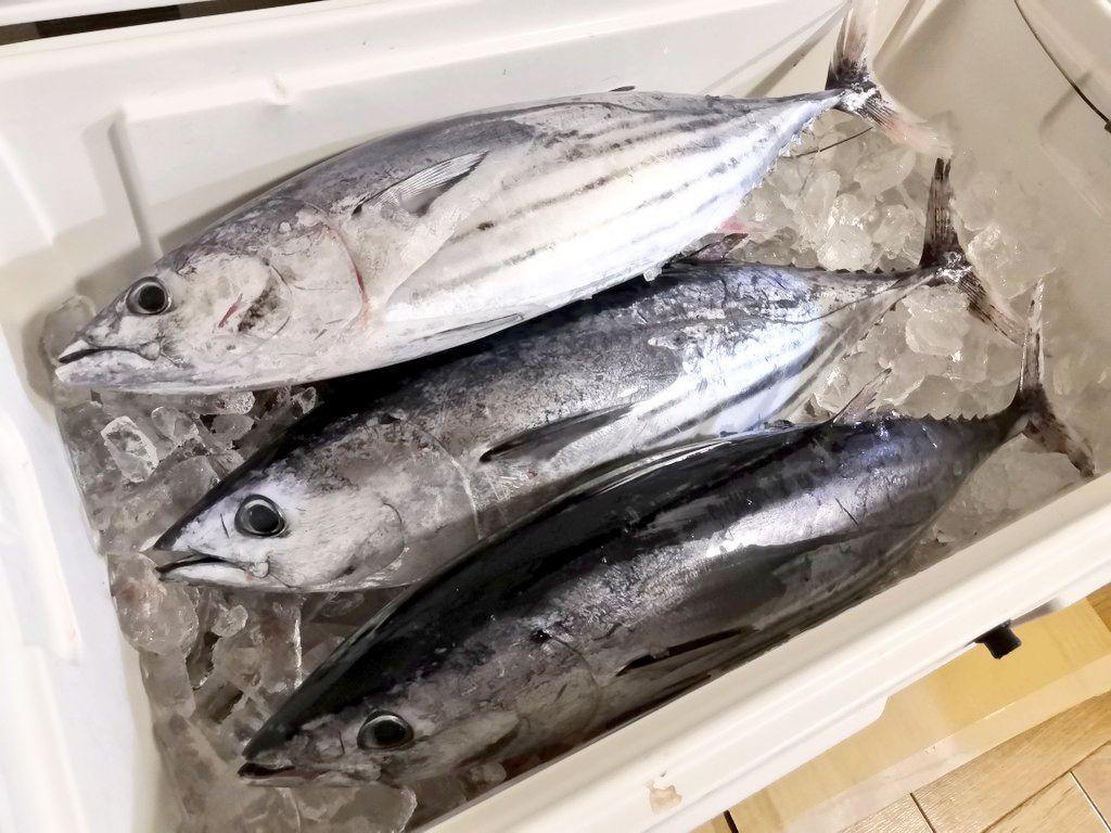 駿河湾で釣ったカツオ