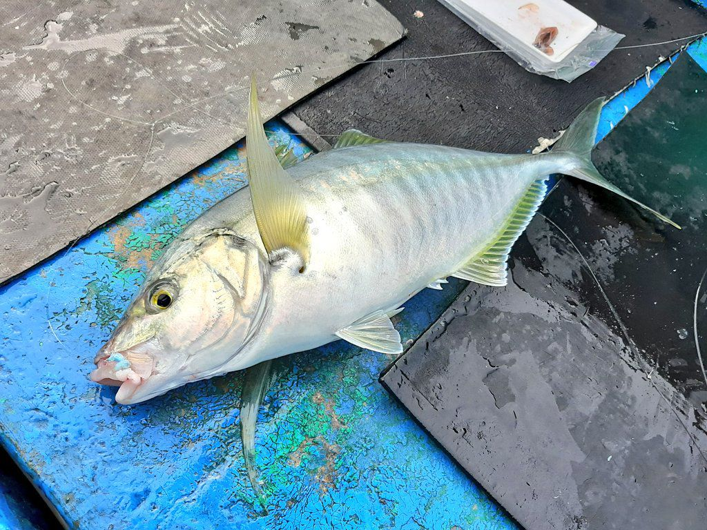 高級魚のシマアジ