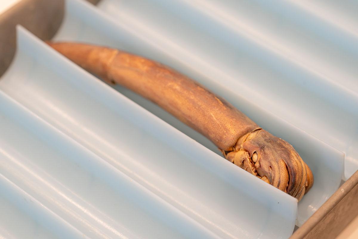 スルメイカのプラスティネーション標本