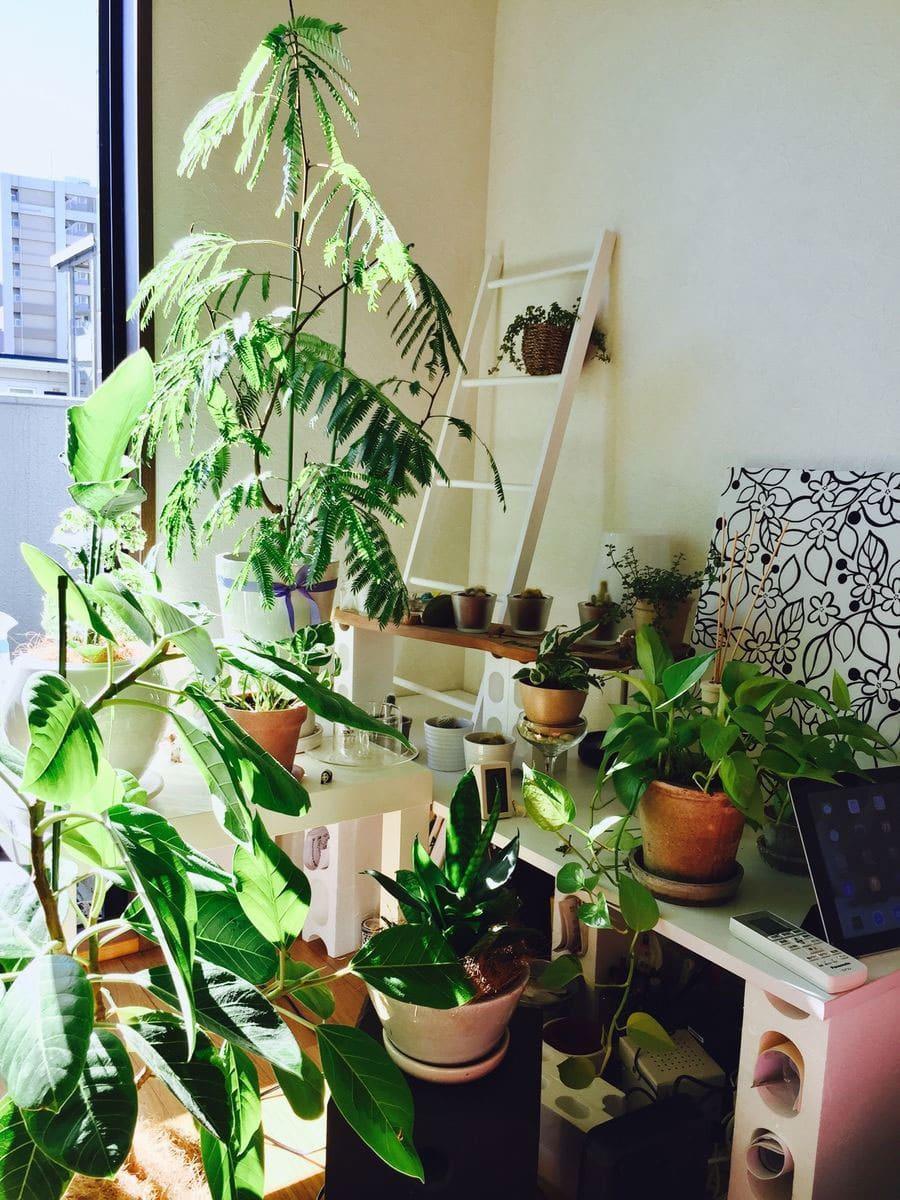 一人暮らしで2年が経過したときの観葉植物たち