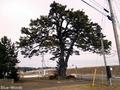 20180321 鍛冶屋の一本松(外ヶ浜町蟹田)