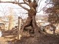 20180410 石割楓②(黒石市温湯)