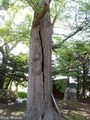 20180521 八幡宮のイチョウ(板柳町常海橋)