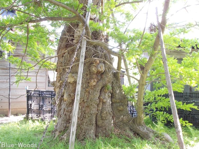 20180521 稲荷神社のサイカチ(板柳町掛落林)