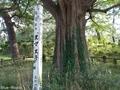 20180903 菊ヶ丘運動公園のヌマスギ(五所川原市栄町)