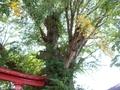 20180923 愛宕神社のハルニレ(板柳町石野)