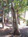 20180923 愛宕神社の古木(板柳町石野)