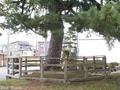 20180929 千代の松(つがる市木造千代町)