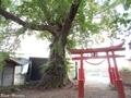 20180929 愛宕神社のハルニレ(板柳町石野)