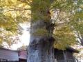20181107 七柱神社のケヤキ(平川市尾上)