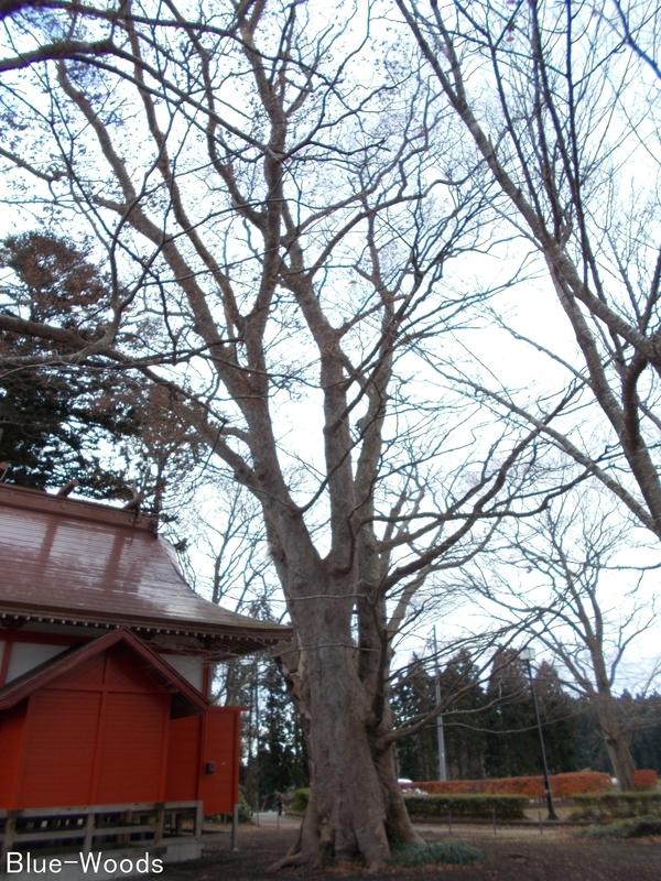 20181127 広沼大明神のケヤキ(東北町大浦)