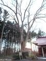 20181202 三柱神社のケヤキ(五所川原市金木町)