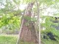 20190531 稲荷神社のサイカチ(板柳町掛落林)