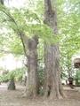 20190531 八幡宮のイチョウ(板柳町小幡)