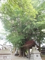 20190620 堰神社のイチョウ(藤崎町藤崎)