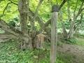20190629 中野神社 イロハモミジ(黒石市南中野)