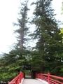 20190629 中野神社 モミの木(黒石市南中野)