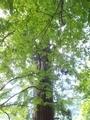 20190716 中野神社の大杉 拝殿南側(黒石市南中野)