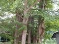 20190726 一丁木の大イチョウ(弘前市相馬)