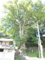 20190904 桂水カツラ(田子町石亀)