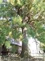 20190904 城山の杉(三戸町梅内)