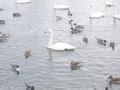 20200118 白鳥ふれあい広場(藤崎町藤崎)