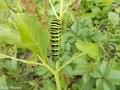 20200619 キアゲハ幼虫