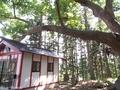 20200706 身代地蔵尊のハリギリ(弘前市高杉)