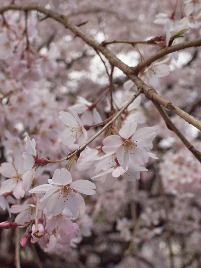 六義園の枝垂桜 2009年3月28日