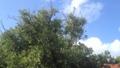 裏庭のみかんの木に小鳥