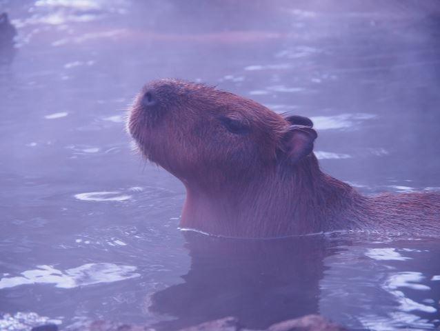 カピバラ ゆっくりお風呂につかる