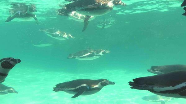 葛西臨海水族園 泳ぐペンギン
