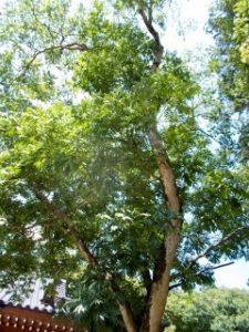 ムクロジの木