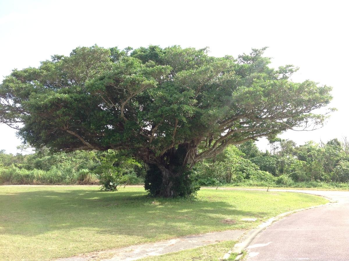 グスクロード公園:ガジュマルの木