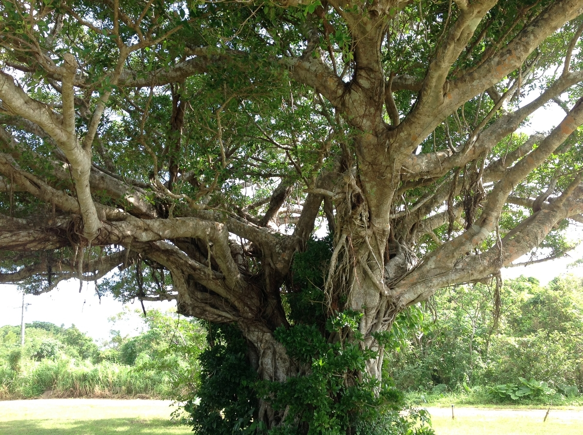 グスクロード公園:ガジュマルの木で木登りしたい