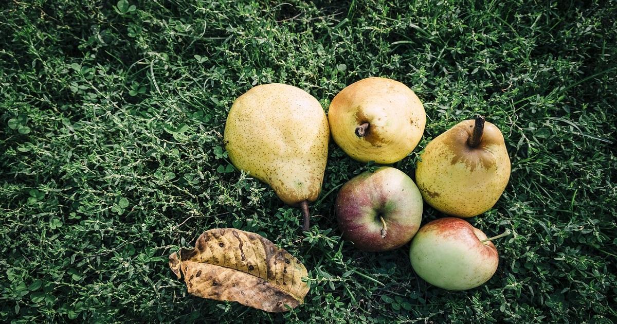 洋梨の品種