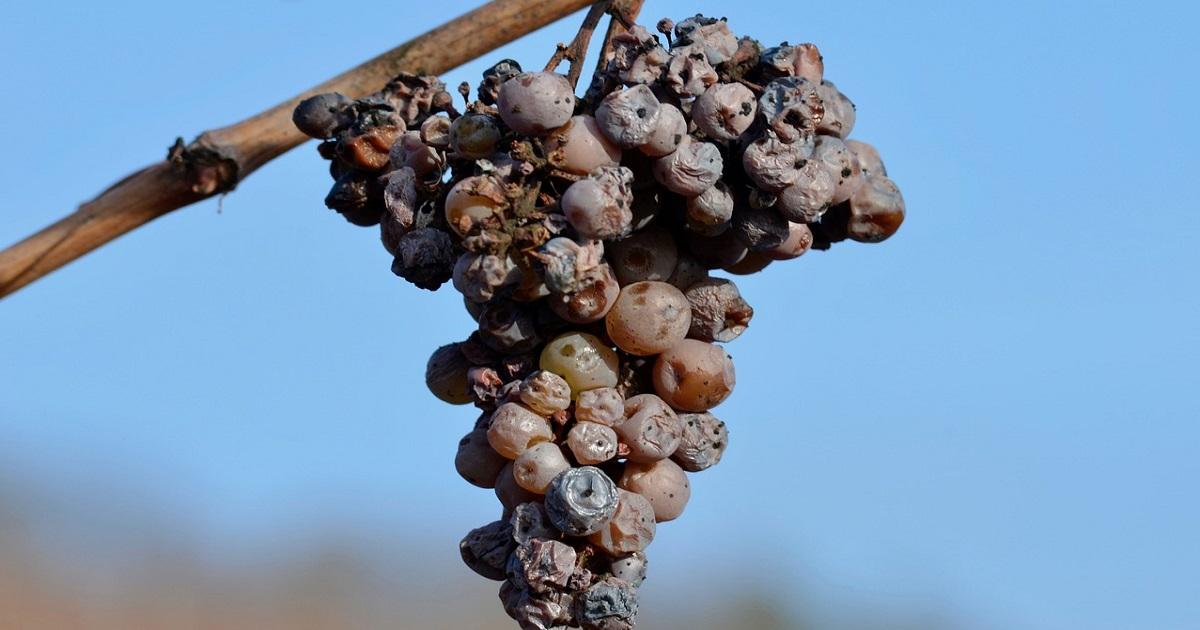 貴腐ワイン、ソーテルヌ、アイスワインの違い