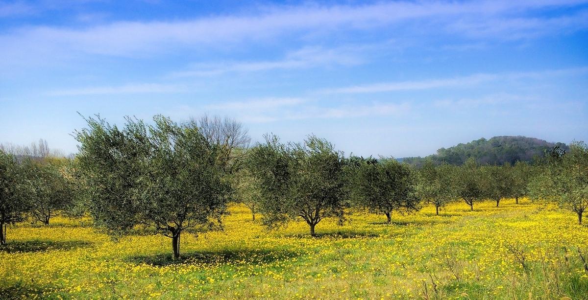 オリーブ畑 オリーブの木