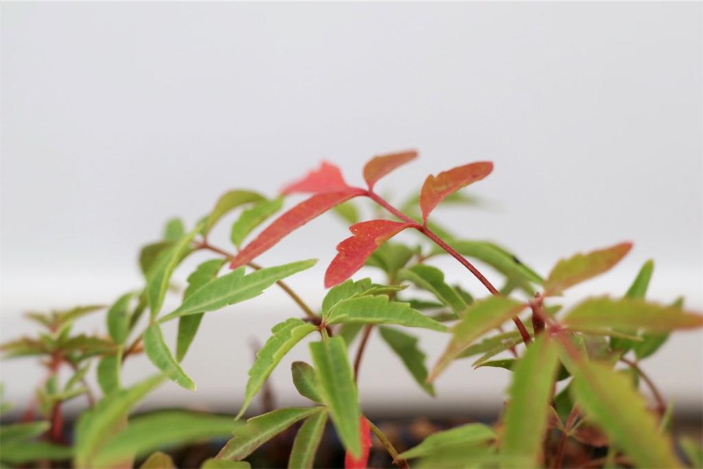 f:id:bonsa1:20191115122432j:image