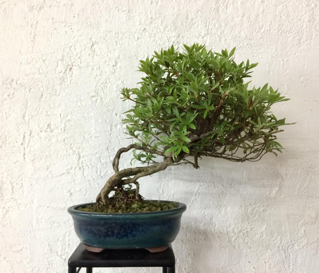 f:id:bonsailabo-rin:20170423171416j:plain