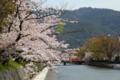 [桜][春]京都新聞写真コンテスト 疎水の桜