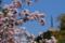 京都新聞写真コンテスト 御室の櫻