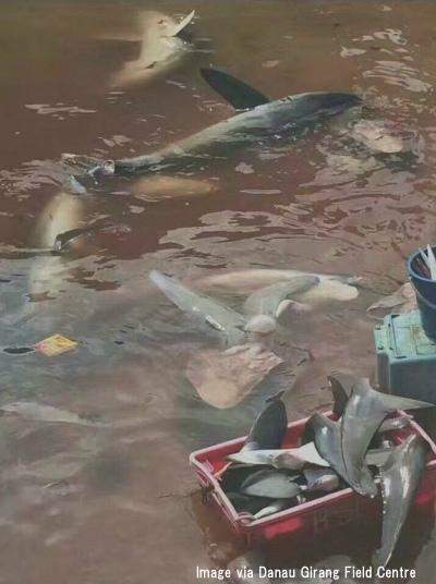 サバ州のサメ捕獲の現状