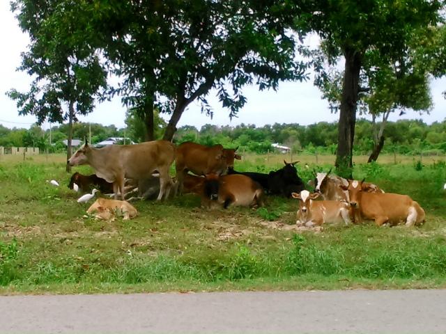シャバンダー村の牛たち