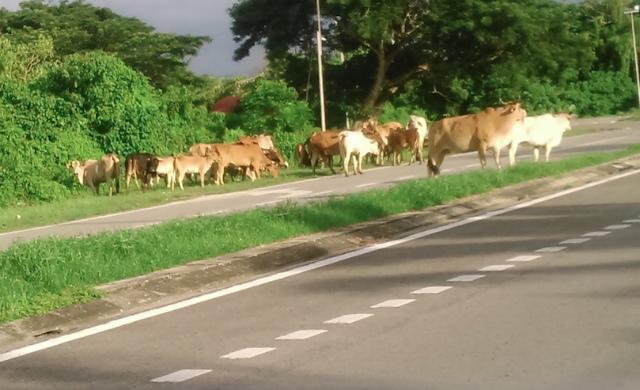 トゥアランの牛