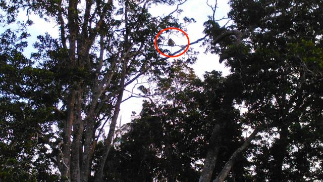 木の上にいるテングザル